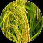 Vitamin E 米胚芽油