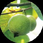 guava グァバ