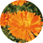 Calendula officinalis トウキンセンカ