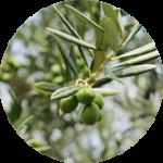 Olive leaf extract オリーブ葉