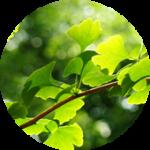 Ginkgo leaf イチョウ